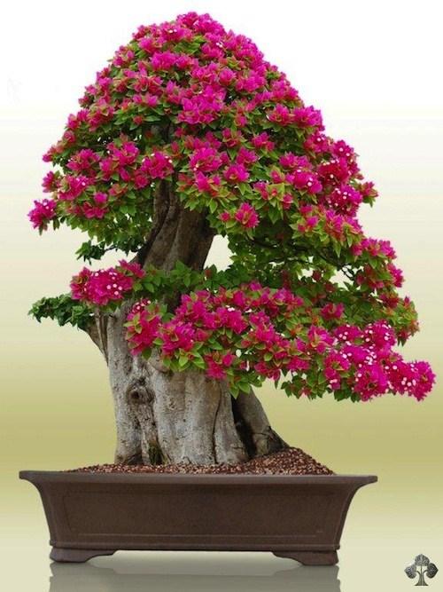 Erik-Wigert-bonsai