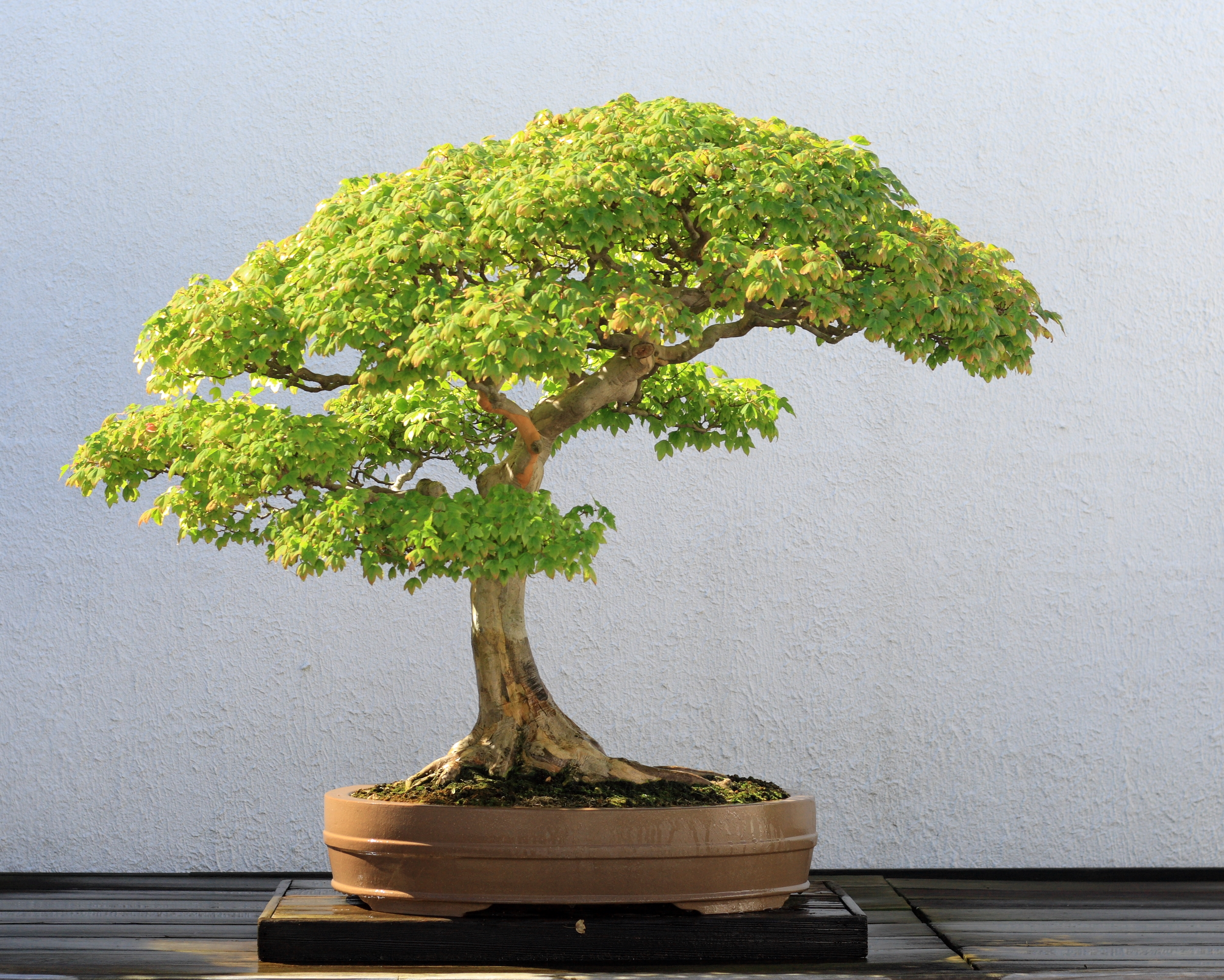 Trident_Maple_bonsai_52,_October_10,_2008