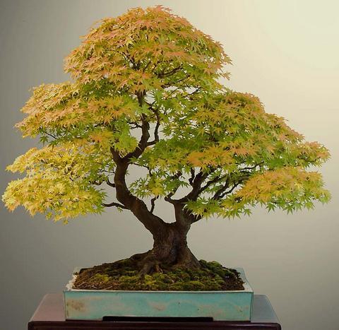 bonsai-pda